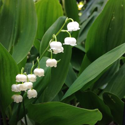 スズランの日、初夏、花のある暮らし、ナンセンス下北沢