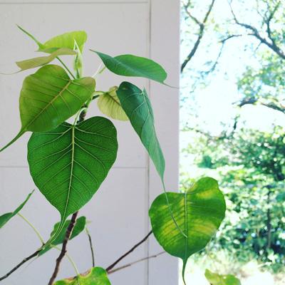 夏の終わり、菩提樹の芽吹き