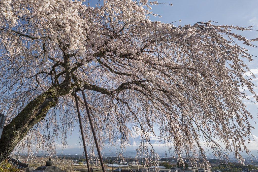 先照寺 枝垂れ桜   富士山の懐か...