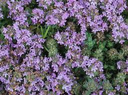 安全な植物タイム