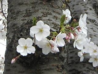 20070401_石神井川沿い花見2