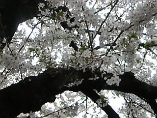 石神井川沿い花見3