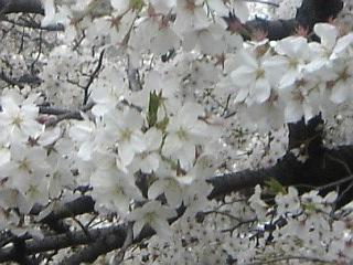 20070401_石神井川沿い花見4