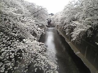 20070401_石神井川沿い花見7