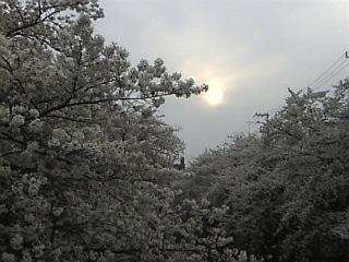 20070401_石神井川沿い花見9