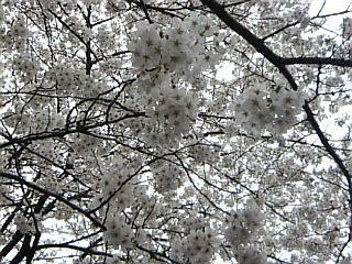 20070331_上野公園3