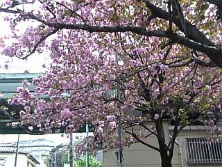 板橋花見2