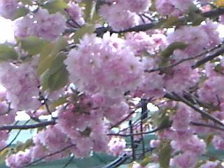 板橋花見3