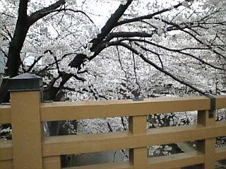 板橋_石神井川_花見2008_F