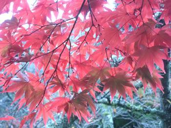 箱根紅葉1