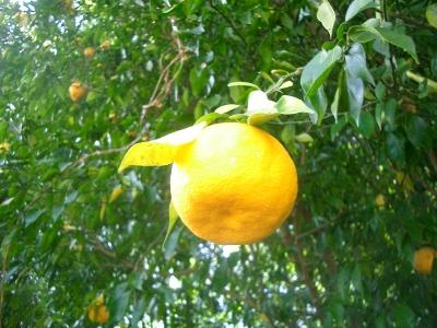 きれいな柚子
