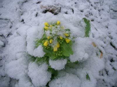 白菜も雪かぶった