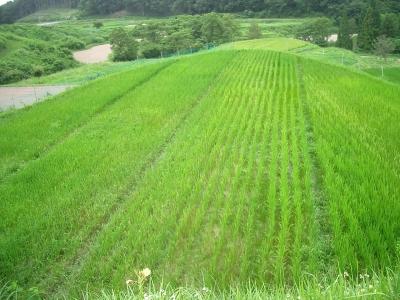 自然農の田んぼ