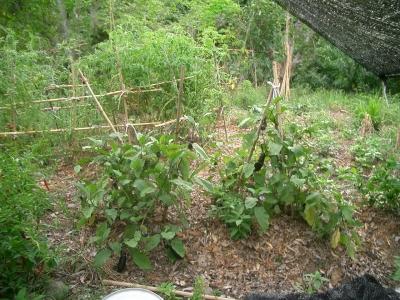 無肥料栽培のナス