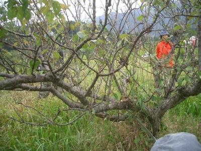 梅の樹の剪定