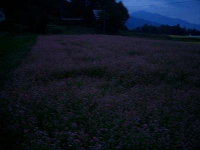 赤ソバの畑