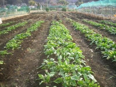 ホウレンソウを収穫