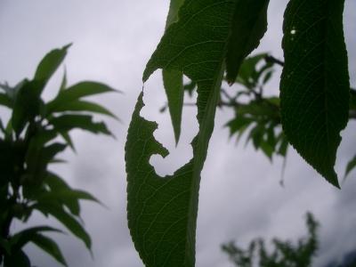 穴が空いた葉
