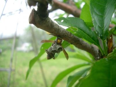 ハチが巣をつくりだしている
