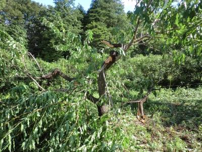 桃の樹が折れてしまった
