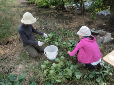 豆を採る人