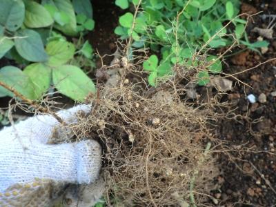 意外と根粒菌が少ない