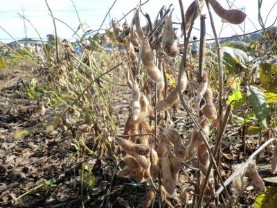 よく枯れた大豆
