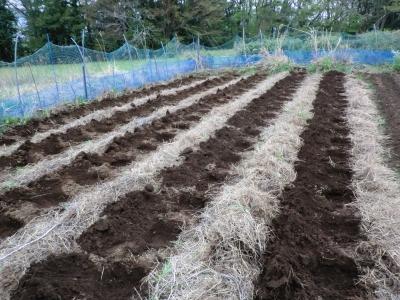 サトイモ植付