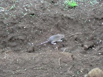 ハツカネズミが飛び出した