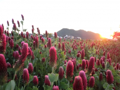 朝日と赤クローバー