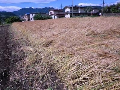 小麦も倒された