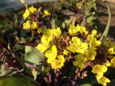 紅菜苔の花