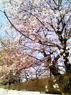 田柄川の桜1