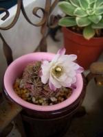 レイダマルの花