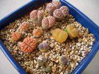 リトコノ鉢