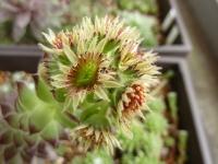 センペルの花2010