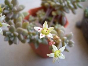 姫秋麗の花 CIMG9440