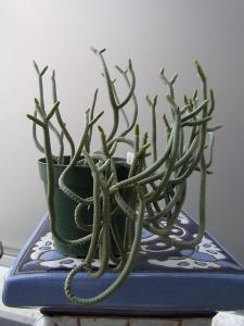 多肉 クラ 緑蛇 RIMG0845-1
