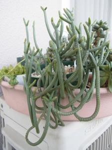 多肉 クラ 緑蛇RIMG0841-