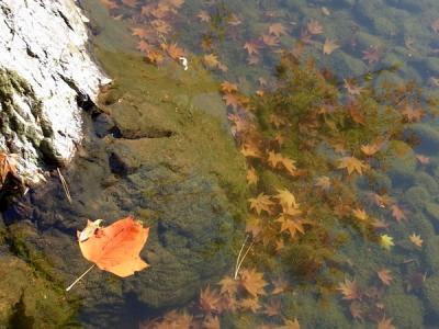 池の底の落ち葉