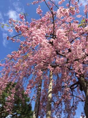 紅八重枝垂桜