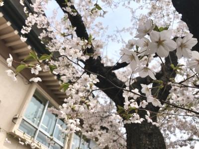 当館裏の桜