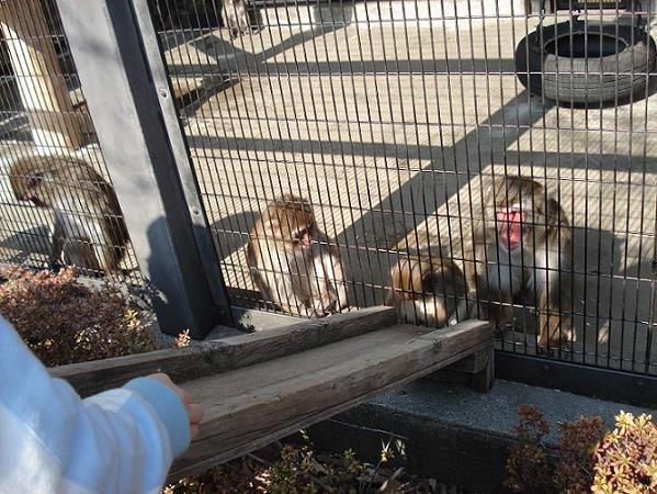 餌をすべり台に転がすと猿が拾って食べます