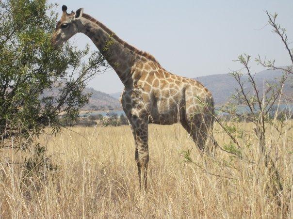 南アフリカのサファリで!キリン