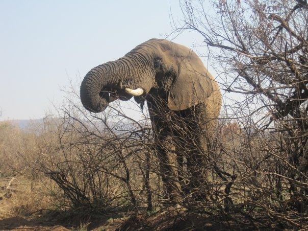 南アフリカのサファリで!象さん!