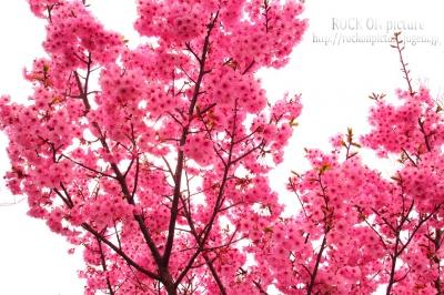 真道山 桜
