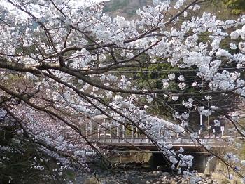 湯本橋の桜