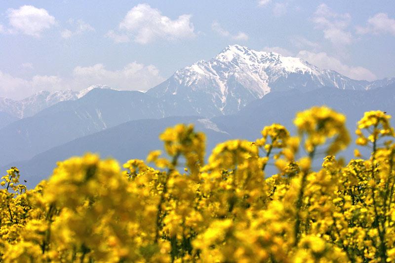 八ヶ岳南麓で撮影、南アルプスと菜の花畑、フィオーレ小淵沢