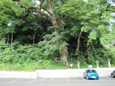 八幡宮楠木