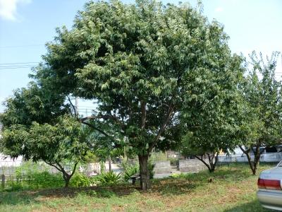 クリの木1